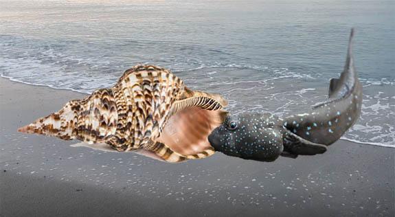巻貝とムツゴロウ